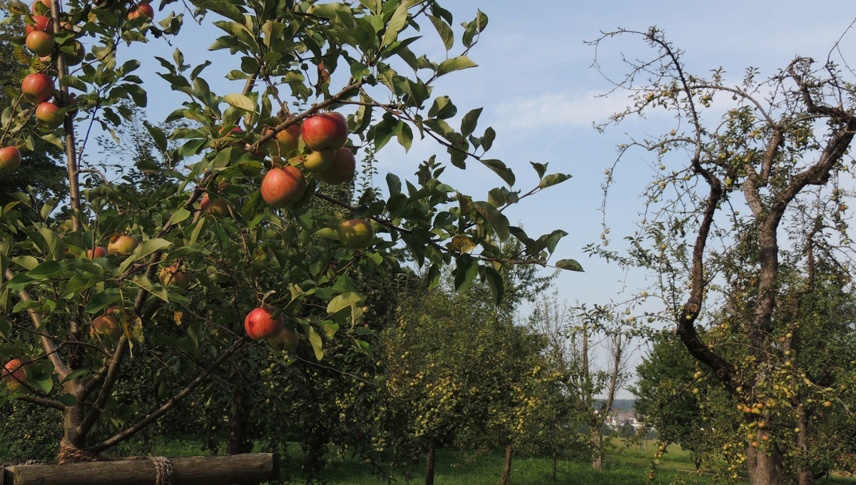 Heimische Obstbäume prägen die Streuobstwiese.